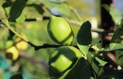 A branch of a lemon tree Stock Photo