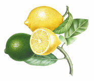 Branch of Lemons Stock Image