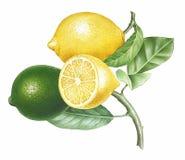 Branch of Lemons. Detailed illustration of a Branch of Lemons Stock Image
