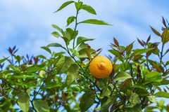 Branch lemons Stock Images