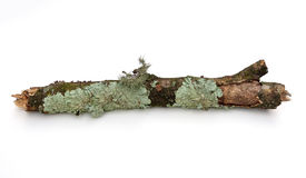 Branch with Lichen. Branch with shield lichen and moss on a white background Royalty Free Stock Photo
