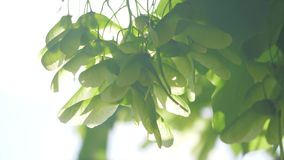 Branch lifestyle of maple tree in spring time. Fresh green leaves on the branch with daylight. nature concept. Branch lifestyle of maple tree in spring time stock video footage