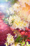 Branch of light yellow Rhododendron bush in sunshine Stock Images