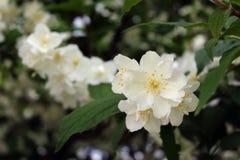 Beautiful white jasmine flower in the garden. Beautiful white jasmine flower royalty free stock photo
