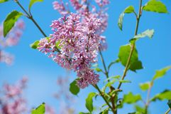Branch of lilac. On a background of blue sky Stock Images