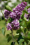 Branch of lilac Royalty Free Stock Image