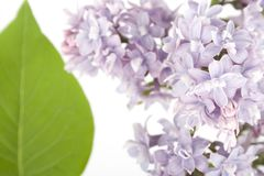 Branch of lilac Stock Photography