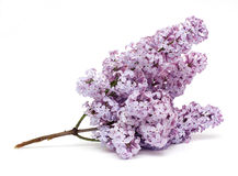 Branch of lilac Royalty Free Stock Images