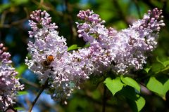 Branch of lilac Stock Images