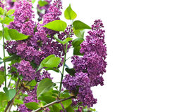 Branch of lilac Royalty Free Stock Photography