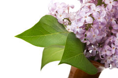 Branch of lilac Royalty Free Stock Photos