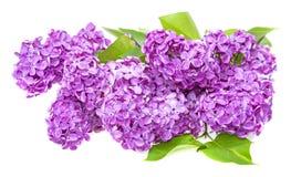 A branch of lilac Stock Photos
