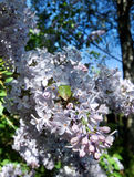 Branch of lilac. Tree crawling with green bug Stock Photos