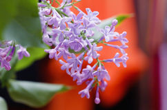 Branch lilac Stock Photography