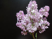 Branch of lilac on black background Stock Photo