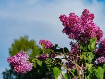 Branch of lilac blossom stock images