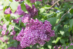 The branch of lilac blossoms closeup. The lush blooms of lilacs in the Park on a Sunny day stock photo