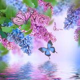 Branch of lilac blue and pink butterfly. And water Royalty Free Stock Photos