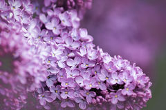 Branch of Lilac. Closeup of Branch of Purple lilac Royalty Free Stock Photography