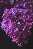 Branch of lilac on dark background with artistic processing. Muted saturated colors royalty free stock image