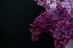 Branch of lilac on a dark background. The magical fragrance of a flowering tree Stock Photography