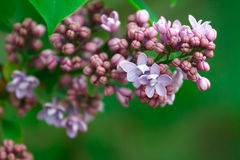 Branch of lilac Stock Image