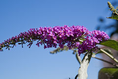 Branch of lilac flowers Royalty Free Stock Image