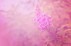 Branch of a lilac Royalty Free Stock Image