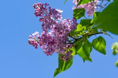 A branch of lilac flowers against the blue sky stock image
