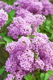 Branch of lilac flowers Stock Images