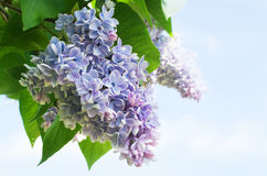 Branch of lilac flowers Royalty Free Stock Images