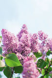 Branch of lilac flowers with the leaves. Blue sky Royalty Free Stock Photography