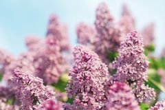 Branch of lilac flowers with the leaves. Blue sky. Branch of lilac flowers with the leaves Royalty Free Stock Image