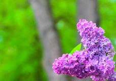 Branch of lilac flowers with the leaves Stock Image