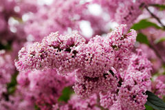 Branch of lilac flowers with the leaves Stock Photography