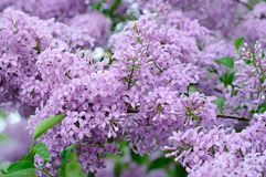 Branch of lilac flowers Royalty Free Stock Photos