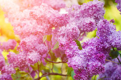 Branch of lilac flowers Royalty Free Stock Photo