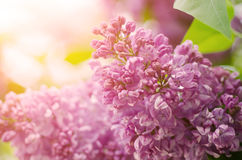 Branch of lilac flowers Stock Photos