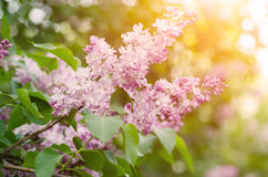 Branch of lilac flowers Stock Photo