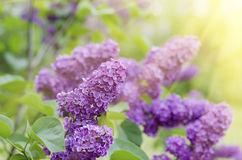 Branch of lilac flowers Stock Photography