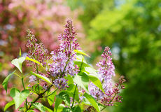 Branch of lilac flowers over summer background Royalty Free Stock Photos