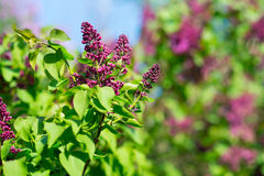 Branch of lilac flowers Stock Image