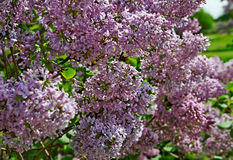 Branch of lilac flowers. Royalty Free Stock Photos