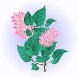 Branch of lilac flowers vector illustration Stock Photos