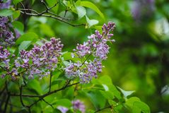 Branch of lilac in the forest royalty free stock image