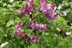 Branch of lilac in the garden Royalty Free Stock Photography