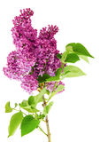 Branch, lilac, isolate Stock Photo
