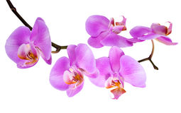 Branch  lilac orchid with is  isolated on white Stock Photos