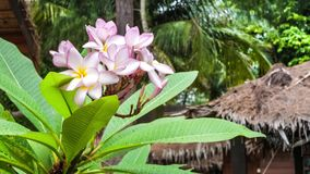 Branch of lilac plumeria flowers just after tropical rain stock video footage