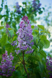 The branch of lilac. A branch of purple lilac blooming in spring Stock Photography